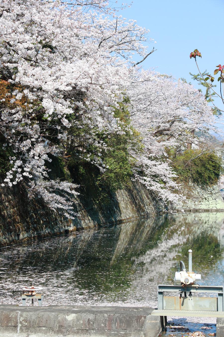 水落静岡桜