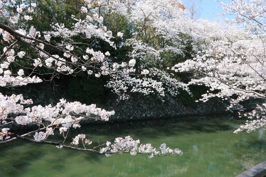 静岡お堀の桜