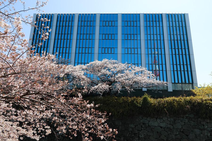 静岡裁判所の桜